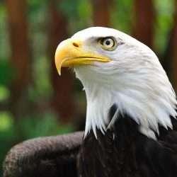 eagle head e1587584190509